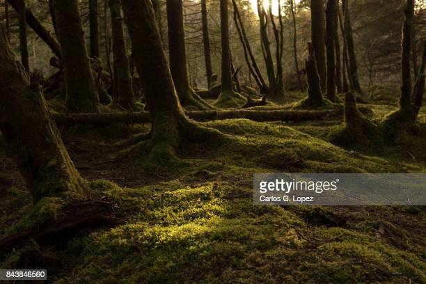 enchanted forest with magical light - wald stock-fotos und bilder