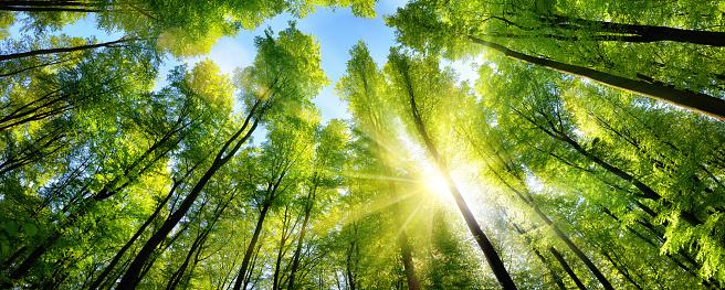 Enchanting sunshine on green treetops 598057526