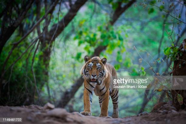 encounter with stripes in nature green - ranthambore national park stock pictures, royalty-free photos & images