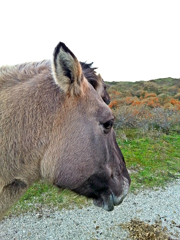 Encounter with wild horse roaming freely in the dunes with dry grass 992765264