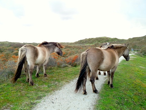 Encounter with wild horses roaming freely in the dunes with dry grass 992765286