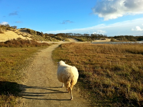 Encounter with wild sheep roaming freely in the dunes with dry grass, with a blue sky on a sunny day 992765240