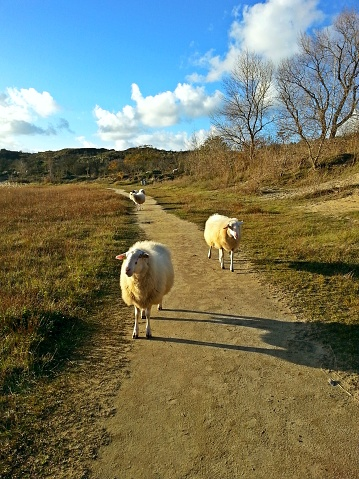 Encounter with wild sheep roaming freely in the dunes with dry grass, with a blue sky on a sunny day 992765242