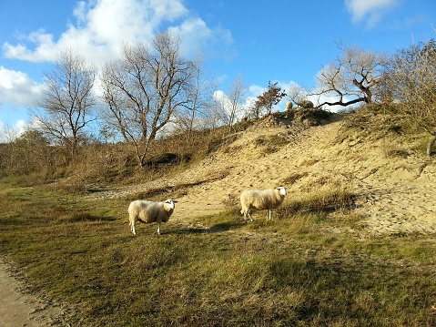 Encounter with wild sheep roaming freely in the yellow sandy dunes with dry grass, with a blue sky on a sunny day 992765230