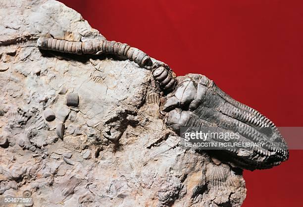 Encrinus liliiformis fossil, Crinoidea, Germany. Milan, Museo Civico Di Storia Naturale