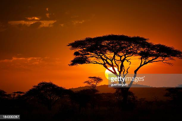 end of a safari-day in the serengeti, africa - acacia tree stock photos and pictures