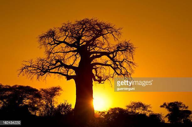 Fin d'un Safari-journée: Africain-Baobab au coucher du soleil