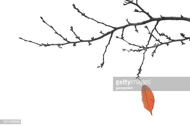 end of autumn - final leaf on a branch - bare tree stock pictures, royalty-free photos & images