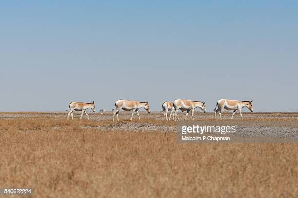 """endangered asiatic wild ass or onager. little rann of kutch, gujarat, india - india """"malcolm p chapman"""" or """"malcolm chapman"""" ストックフォトと画像"""