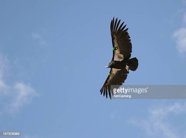 endangered california condor flying and clear blue sky - california condor stock photos and pictures