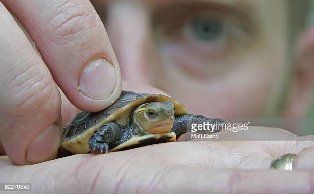 A endangered Chinese box turtle which recently hatched at Bristol Zoo is held by a zoo curator on August 12 2008 in Bristol England It currently...