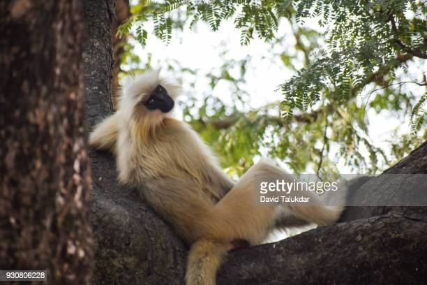 Endangered Golden Langur