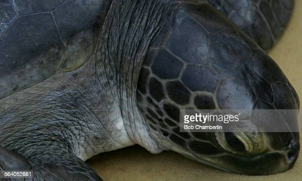 Endangered Green Sea Turtle with an 18 inch shell and weighing 28 pounds was returned by the Aquarium of the Pacific and the National Marine...