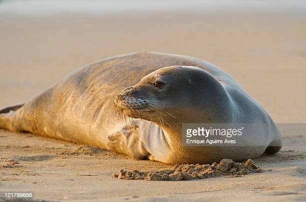 endangered hawaiian monk seal (monachus schauinslandi), resting on ke'e beach, kauai, hawaii - %e... ストックフォトと画像