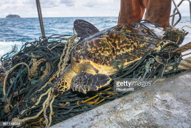 endangered hawksbill sea turtle bycatch tangled in discarded fishing net - hawksbill turtle stock pictures, royalty-free photos & images