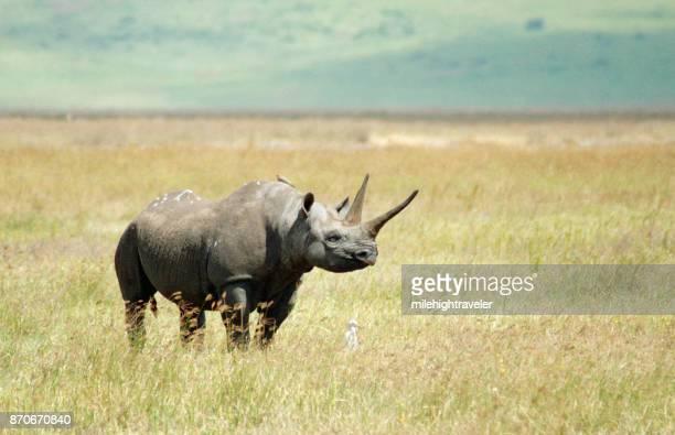 Endangered horned black rhino Ngorongoro Crater Conservation Area Tanzania