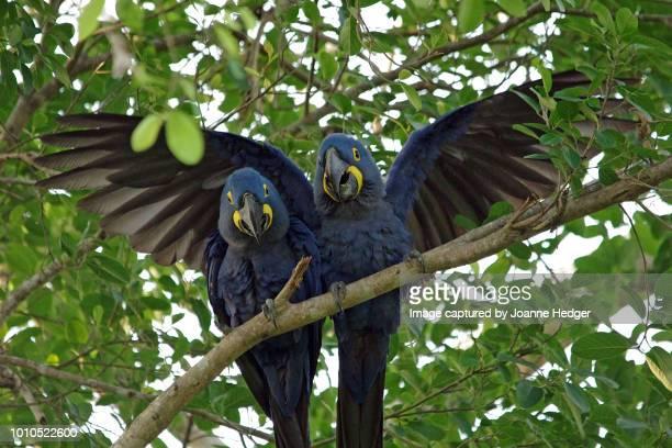endangered hyacinth macaws - arara azul grande imagens e fotografias de stock