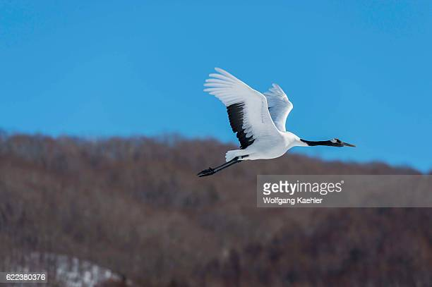 A endangered Japanese crane also known as the Redcrowned crane which is one of the rarest cranes in the world is flying in at the Akan International...