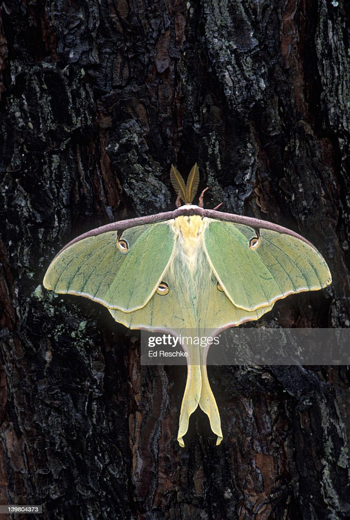 Endangered Luna Moth, Actias luna, has disappeared from many areas due to pollutants and pesticides, North Carolina, USA : Stock Photo