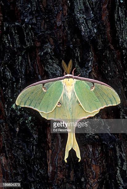 endangered luna moth, actias luna, has disappeared from many areas due to pollutants and pesticides, north carolina, usa - ed reschke photography stock photos and pictures