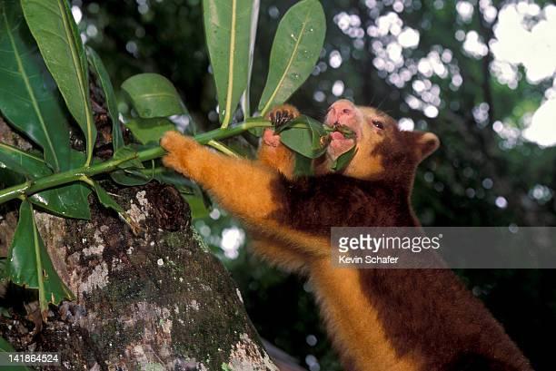 Endangered Matschies Tree Kangaroo, Dendrolagus matschiei, feeding on plant. Papua New Guinea