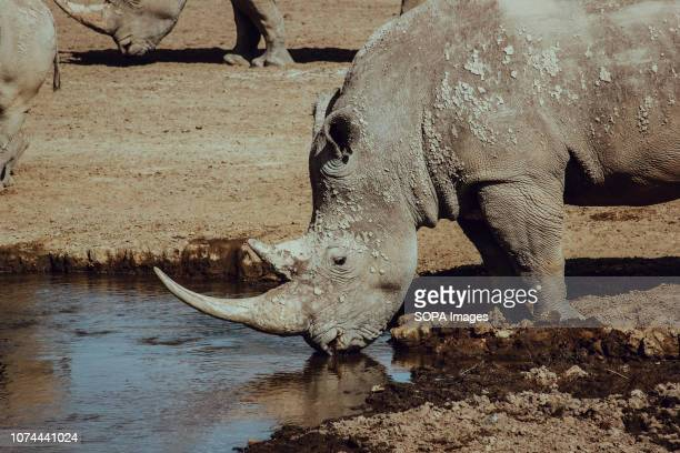 Endangered rhino seen drinking water from a pond in Nakuru National Park Lake Nakuru is one of the rift valley of kenya and is protected by Lake...
