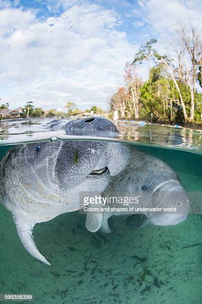 endangered specie west indian manatee - dugong stock pictures, royalty-free photos & images