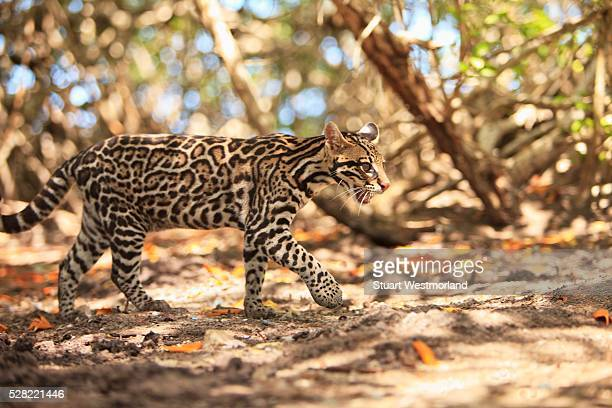 Endangered Species Jaguar (Panthera Onca) In The Rehab Center & Forest Preserve On Mango Key Across From Coxen Hole