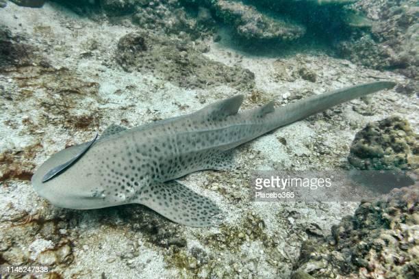 endangered species leopard shark (stegostoma fasciatum) - leopard shark stock pictures, royalty-free photos & images