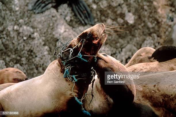 Endangered steller sea lion struggling with fishnet, AK