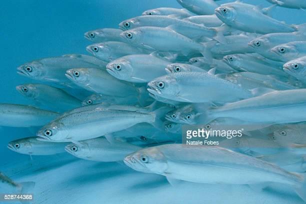 Endangered Yearling Snake River Sockeye Salmon