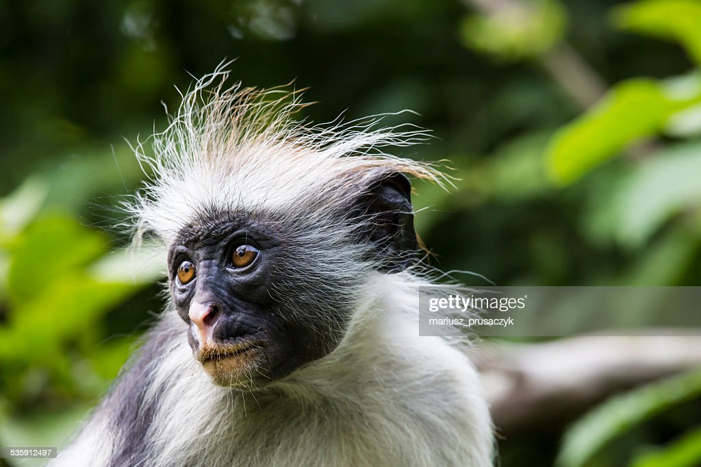 Endangered Zanzibar red colobus monkey (Procolobus kirkii), Joza : Stock Photo