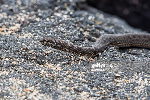 endemic galapagos racer snake (pseudalsophis biserialis) at isabella island - istock images stock pictures, royalty-free photos & images