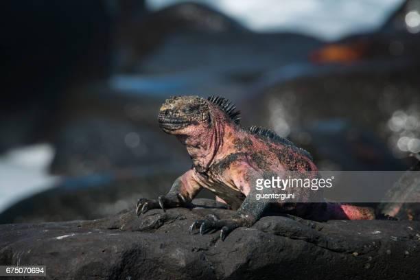 Endemische Marine Iguana in Espanola, Galapagos-Inseln