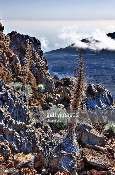 endemic Silversword at Haleakala Volcano Crater Argyroxiphium sandwicense ssp Macrocephalum Maui Hawaii USA