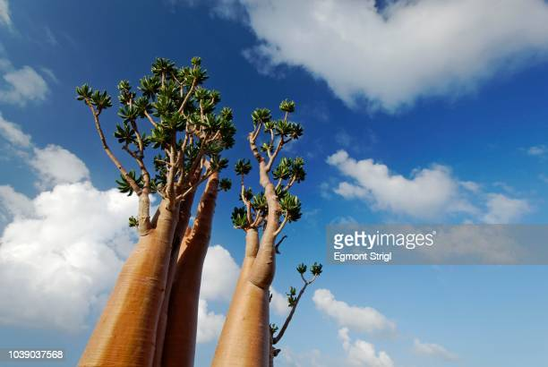 Endemic Socotra Desert Rose or Bottle Tree (Adenium obesum sokotranum), Socotra Island, UNESCO World Natural Heritage Site, Yemen, Arabia, Arabian Peninsula, Middle East