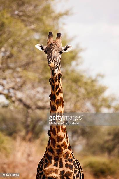 endemic thornicroft giraffe - south luangwa national park stock pictures, royalty-free photos & images