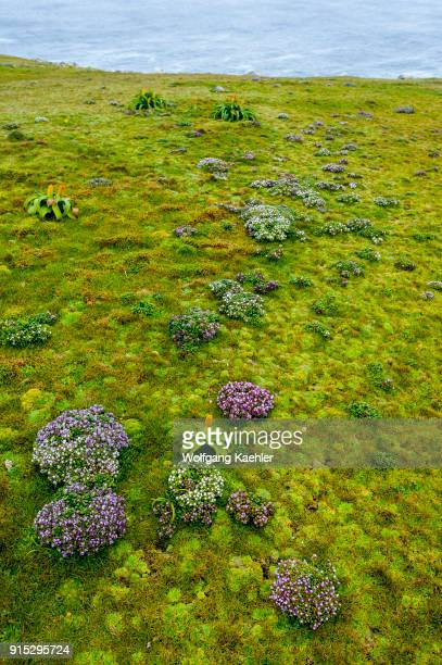 Enderby Island Gentian and yellow Bulbinella rossii flowers commonly known as the Ross lily on Enderby Island a subAntarctic Island in the Auckland...