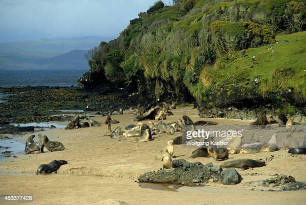 Enderby Island Hooker's Sea Lions On Beach