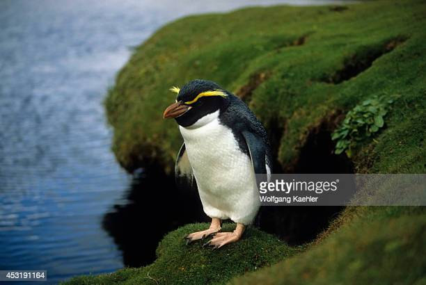 Enderby Island Snares Crested Penguin