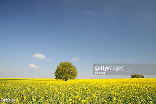 Endlose Canola Felder mit Single Tree
