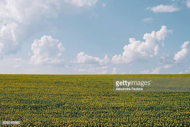 Endless field of sunflowers