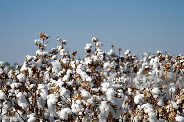 endless fields of unpicked cotton in bloom during spring - cotton stock pictures, royalty-free photos & images