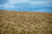 endless fields wheat crops latvia countryside