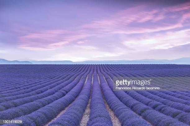 endless purple lavender field at sunset, cold purple tones. provence, valensole, france - francesco riccardo iacomino france foto e immagini stock