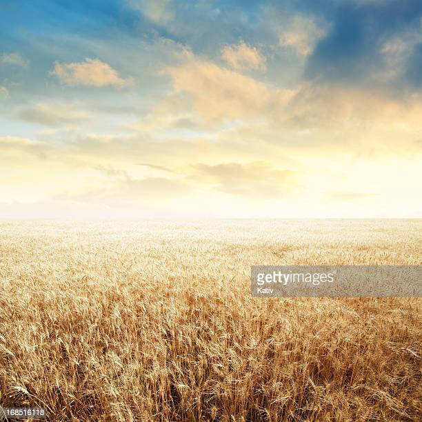Endless Wheat Field over Sunset Sky