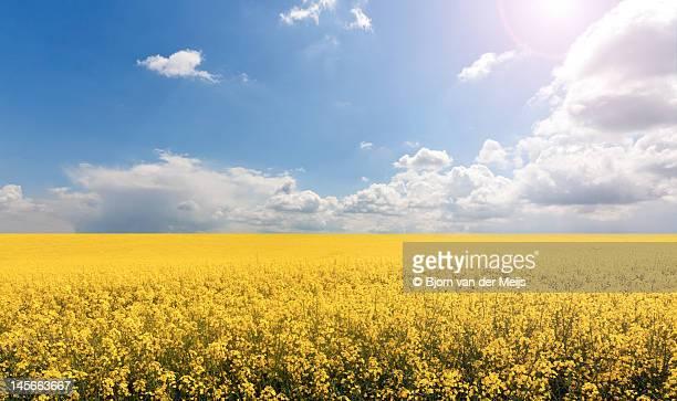 endless yellow canola field - キャノーラ ストックフォトと画像