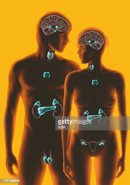 Endocrine Gland Illustration