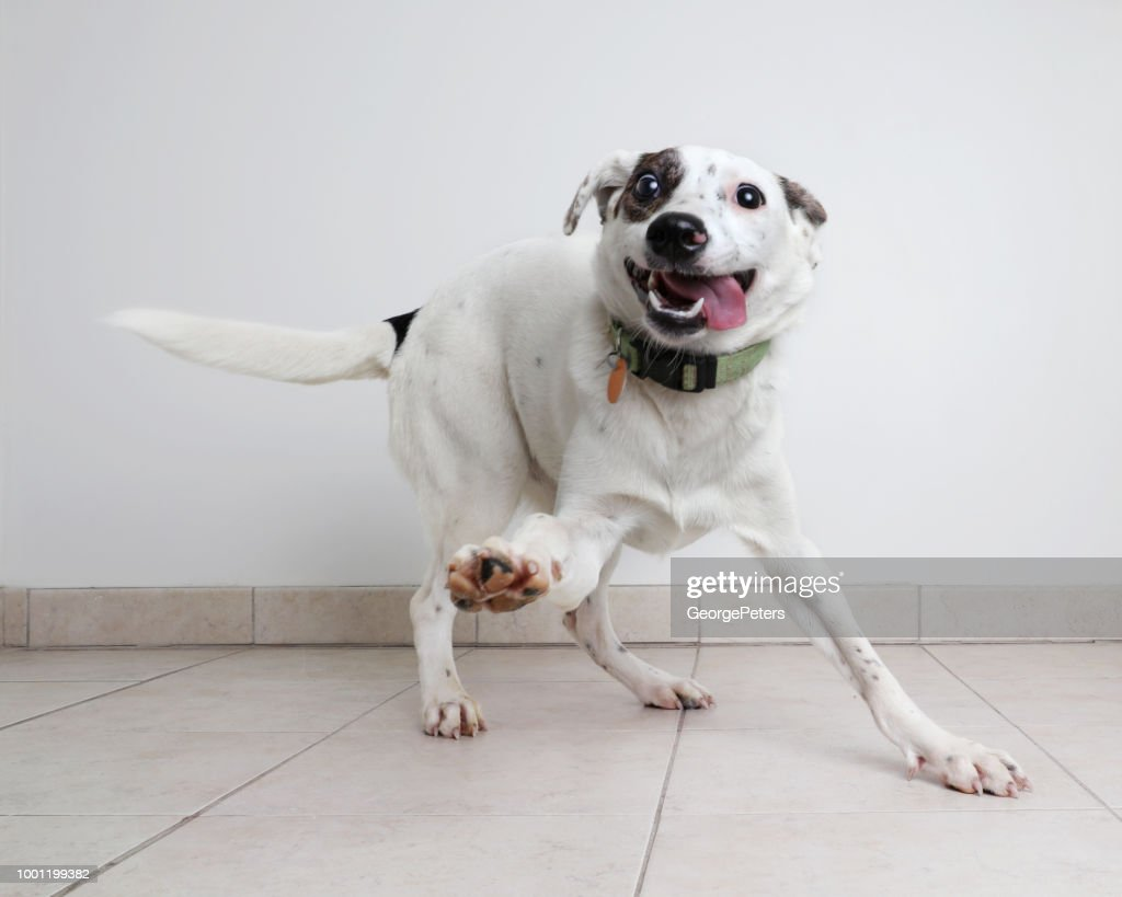 Energetic Australian Cattle Dog mixed breed dog hoping to be adopted : Stock Photo