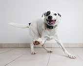 Energetic Australian Cattle Dog mixed breed dog hoping to be adopted